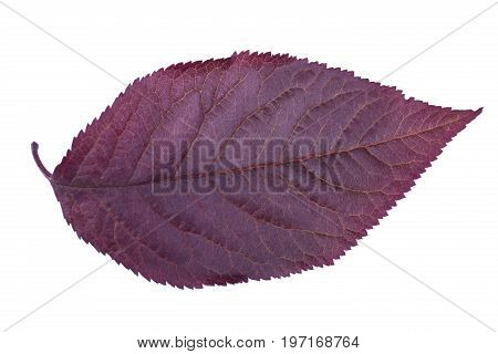 Close-up of purple plum leaf isolated over the white background. Colorful foliage. Organic fresh healthy leaf of plum. Freshness and nature concept.