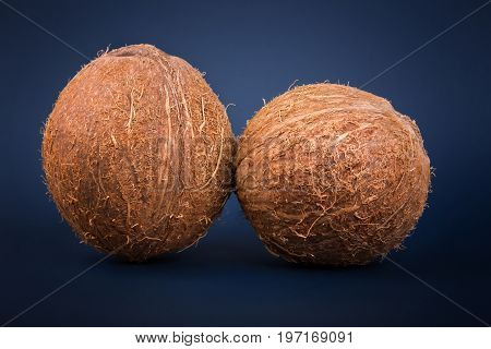 Close up of two whole and fresh coconuts on a dark blue background. Exotic coconuts full of vitamins. A whole and tasty brown coconut. Freshness, nature, summer concept. Healthful food.