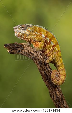 Close up photograph of a panther chameleon climbing up a branch with its tail curled up set against a green background