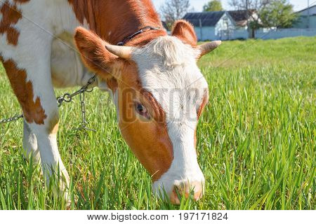 Profile portrait of cow on the background of green field. Funny cow on cow farm. Young red and white spotted calf staring at the camera. Curious, amusing cow and natural background
