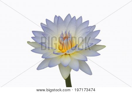 Waterlily or lotus flower isolated on white background.