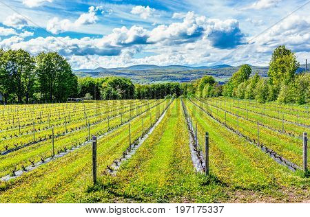 Vineyard rows during summer in Ile D'Orleans Quebec Canada with view of Saint Lawrence River