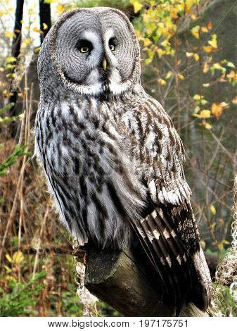 Great grey owl (Strix nebulosa) perched on a branch