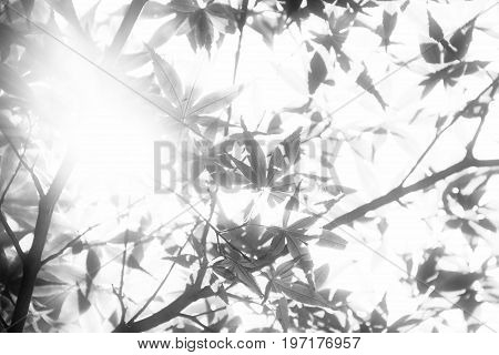 Leaves over exposed and soft focus with sunlight passing through them.