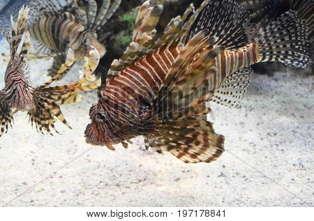 Trio of swimming turkeyfish near the ocean bottom.