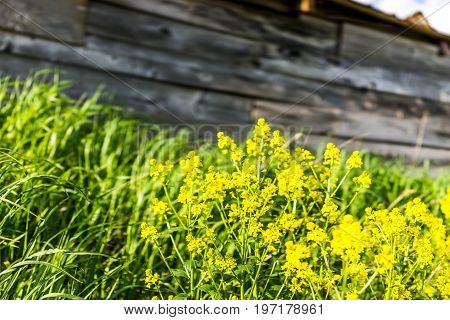 Macro Closeup Of Field Mustard Flowers Growing By Shed In Countryside