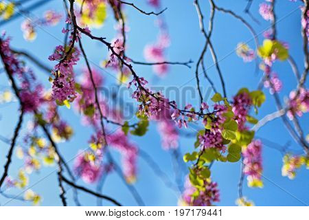 Blossoming Judas tree or Eastern Redbud tree (Cercis siliquastrum). Pink flowers and blue sky background.