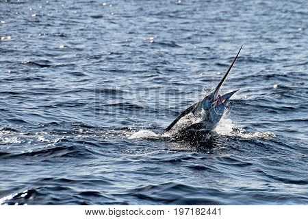 Marlin sailfish, pacific ocean, Costa Rica Central America