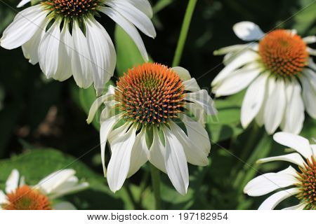 Closeup of white Echinacea purpurea. Crop of herbs in summer sunny day on meadow, medicinal plants