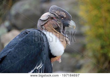 Male andean condor portrait, Ecuador, South America