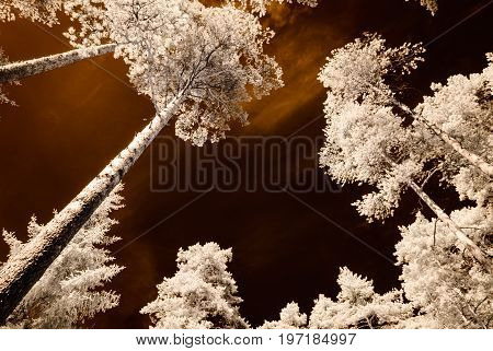 Infrared Camera Image. Skyscape Through Trees And Leaves