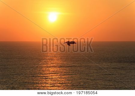 Pelican flying over ocean at sunset, Ecuador, South America