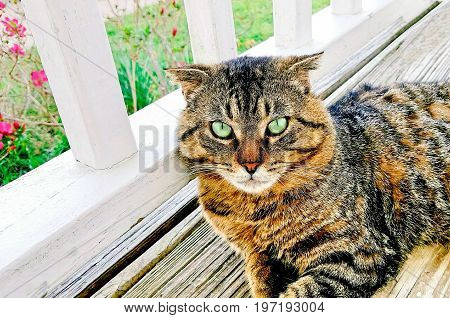 A beautiful Tabby cat with amazing green eyes relaxing on the front porch with flowers in the background.