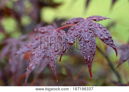 Leaves Of Red Japanese-maple (amur Maple) With Water Drops
