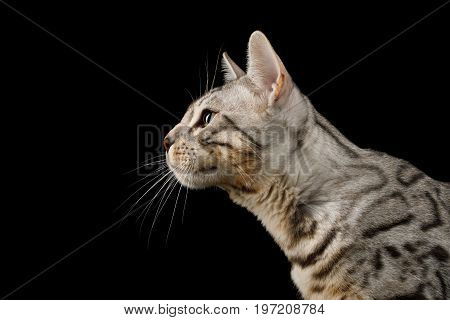 Portrait of Bengal Cat, snow Fur with rosette, on isolated on Black Background, Profile view