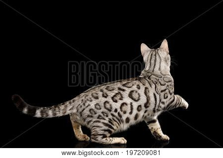 Playful Bengal Cat, snow Fur with rosette, on isolated on Black Background, Side view