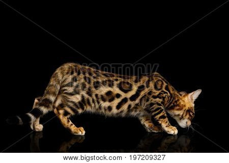 Playful Bengal Kitten, gold Fur with rosette, Crouching on isolated on Black Background with reflection