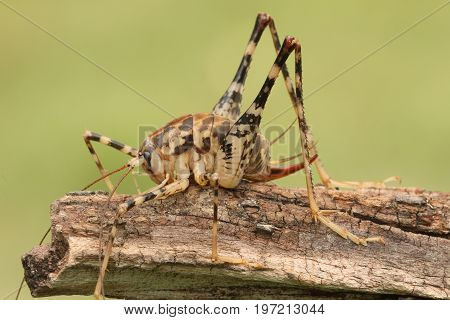 Cave or Camel Cricket (Rhaphidophoridae) on a log