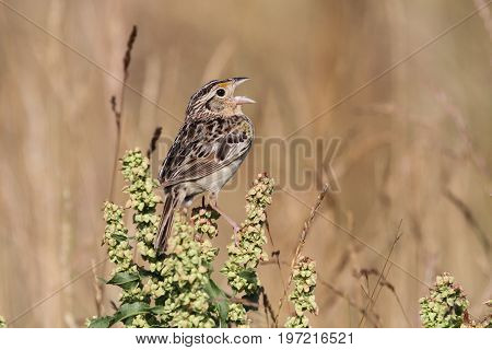 Threatened Grasshopper Sparrow (Ammodramus savannarum) singing on a plant