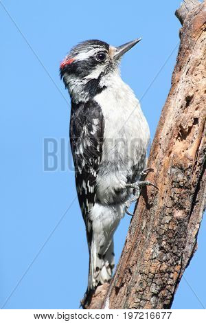 Downy Woodpecker (Picoides pubescens) on a branch with a blue background