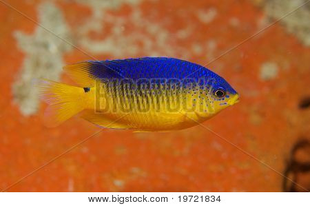 Juvenile Cocoa Damselfish