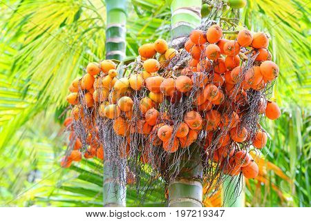 The Areca catechu are popular for chewing throughout some Asian countries. Nuts contains alkaloids such as arecaidine and arecoline, which, when chewed, are intoxicating and slightly addictive.