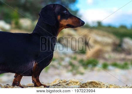 Close up portrait of a dog (puppy) breed dachshund black and tan against a blue sky and a sandy beach