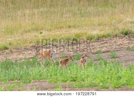 Whitetail Fawns feeding  in a field of alfalfa with their mother