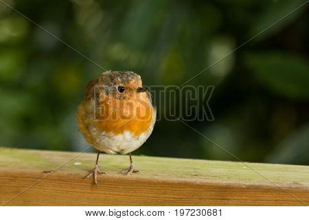 European Robin on fence looking to its left