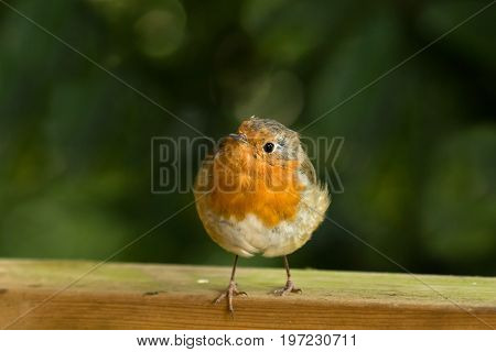 European Robin on fence with toes over edge.