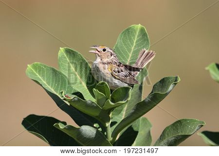 Threatened Grasshopper Sparrow (Ammodramus savannarum) on milkweed