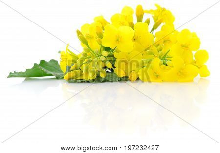 Mustard Flower blossom Canola or Oilseed Rapeseed close up isolated on white background.
