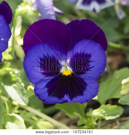 Dark Purple pansy with a yellow center shaped like a butterfly.