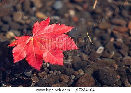 Red Leaf Floating In Water