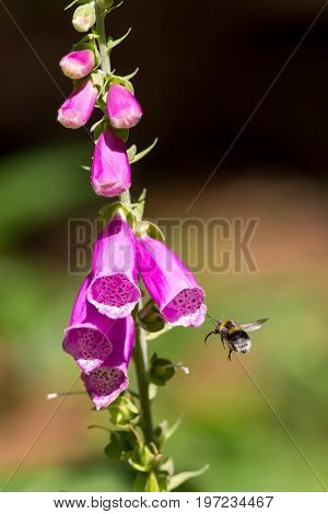 Bee pollination. Bumblebee insect flying towards garden foxglove (digitalis) flower plant.