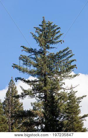 Large Sugar Pine Tree