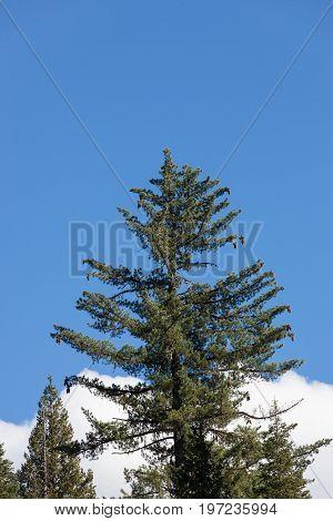 Giant Sugar Pine Tree