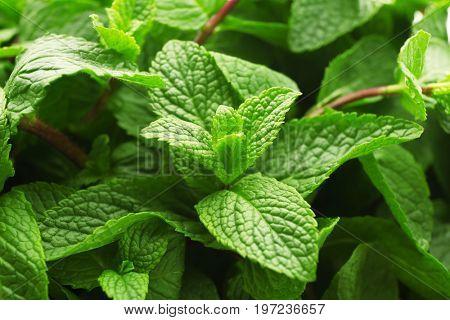 Fresh lemon balm leaves, closeup