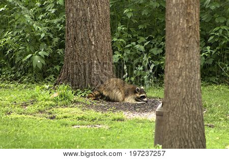 A wild raccoon enjoys a snack of sunflower seeds in a suburban backyard.