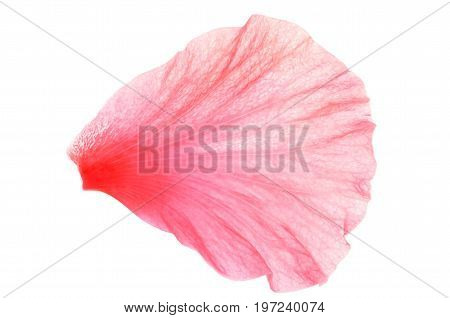 Isolate single pink hibiscus or chinese rose petal, a close up photo image of single pink hibiscus or chinese rose petal isolated on white bright light background present a detail of pink hibiscus or chinese rose petals pattern