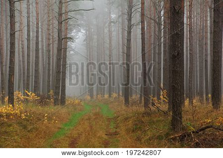 A forest road in a pine forest in middle europe. in the background trees are disappearing in the morning fog the ground is already yellow only two grass- stripes are still green.