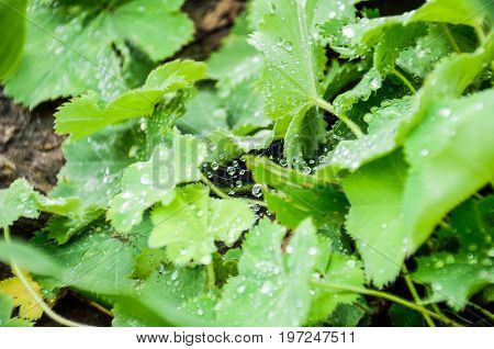 Macro closeup of rain water drops on spiderweb cobweb web on green leaves on ground