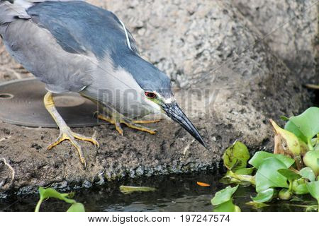 Close up image of a Black Crowned Night Heron (Nycticorax nycticoras)