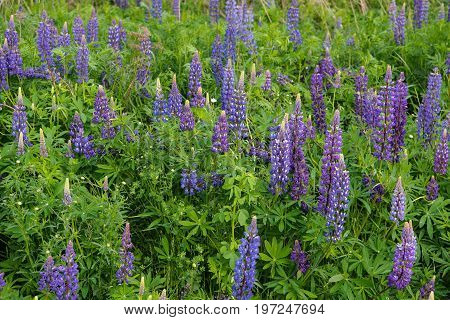 Wild purple Lupines (Lupinus perennis) an invasive species in Minnesota dominate the landscape of the northern Lake Superior shore region