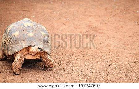 The angonoka tortoise (Astrochelys yniphora) is a critically endangered species of tortoise endemic to Madagascar.