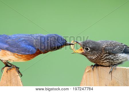 Male Eastern Bluebird (Sialia sialis) feeding his hungry baby