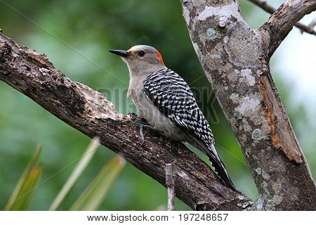 Female Red-bellied Woodpecker (Melanerpes carolinus) on a tree trunk