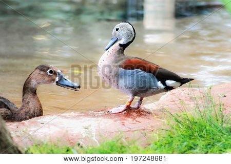 A male ringed teal (Callonetta leucophrys) standing next to a female Rosy-billed Pochard in the water.