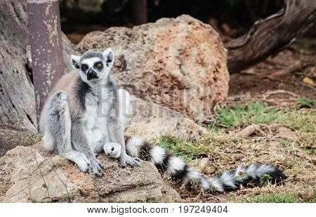 The ring-tailed lemur (Lemur catta) is a large strepsirrhine primate and the most recognized lemur due to its long black and white ringed tail.