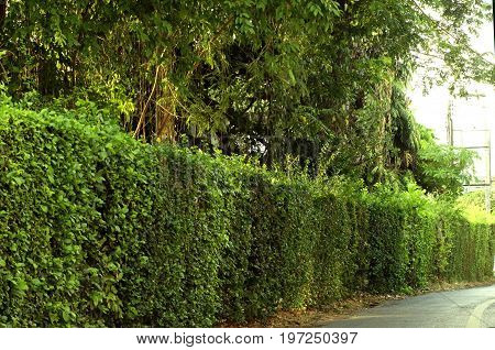Green hedge fence, a select focus on a green hedge that grow around the house use it as a fence between the house and public road a dense of green leaves from the hedge make it look like a wall